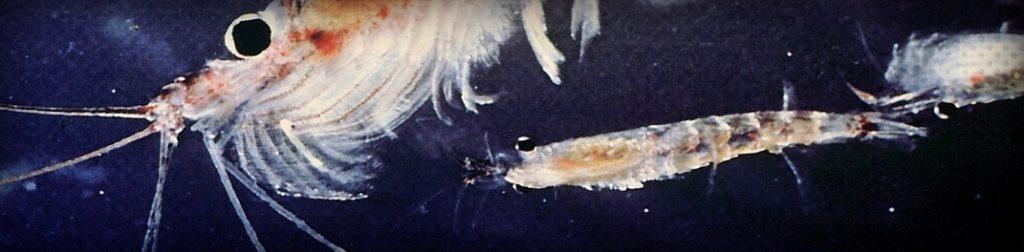 Les bienfaits de l'huile de krill