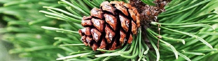 Bienfaits de l'huile essentielle de pin sur la santé