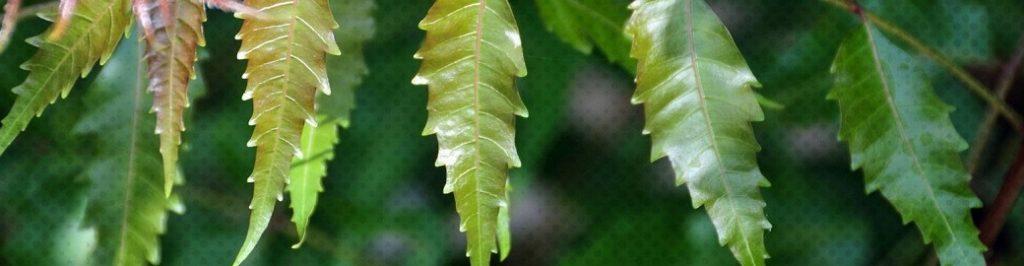 Les bienfaits de l'huile de neem