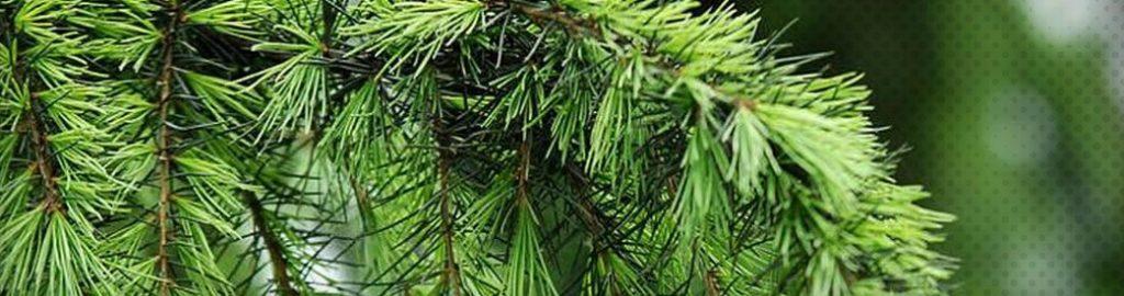 Les bienfaits de l'huile essentielle de pin