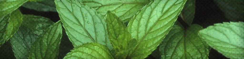 Les bienfaits de l'huile essentielle de menthe poivrée