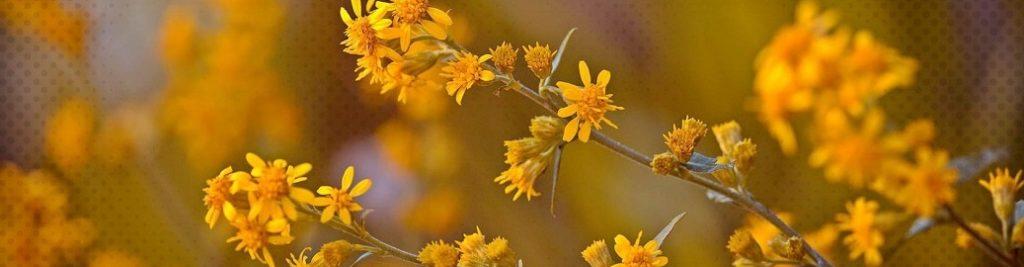L'huile d'arnica et ses pouvoirs anti-douleur et anti-inflammatoire