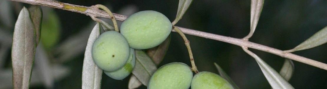 Bienfaits de la feuille d'olivier sur la santé