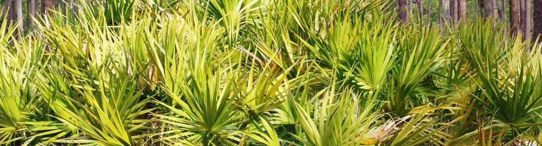 Bienfaits du palmier nain sur la santé