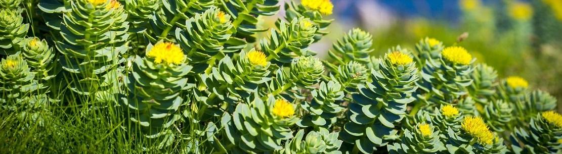 Bienfaits de la rhodiola rosea sur la santé