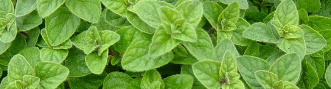 TOP 10 des plantes antivirales : pour renforcer votre système immunitaire et combattre les infections
