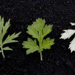 Les bienfaits de l'armoise : pour les douleurs articulaires, le paludisme et plus encore