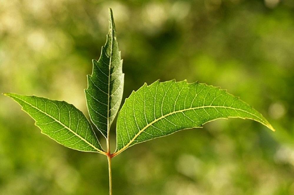 Bienfaits de l'huile de neem sur la santé