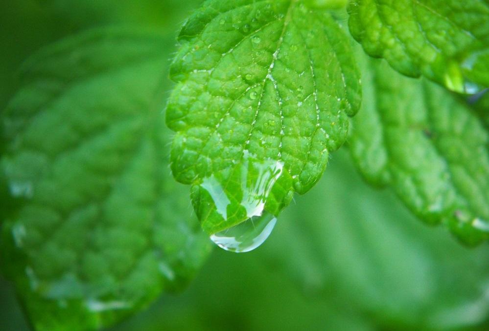 Bienfaits de l'huile essentielle de mélisse sur la santé