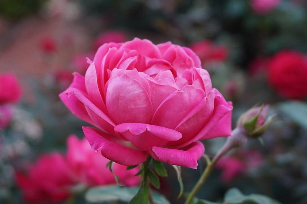 Bienfaits de l'huile essentielle de rose sur la santé