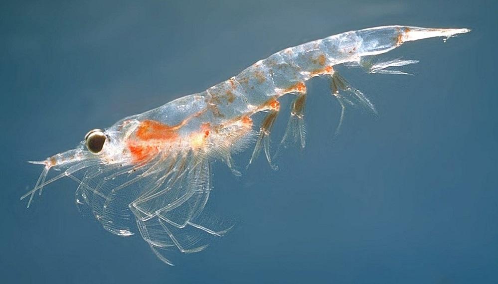 Les bienfaits de l'huile de krill sont-ils encore meilleurs que ceux de l'huile de poisson ?