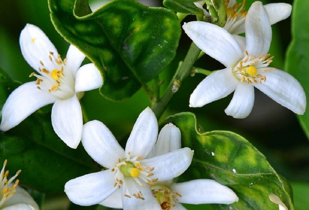 Bienfaits de l'huile essentielle de néroli sur la santé