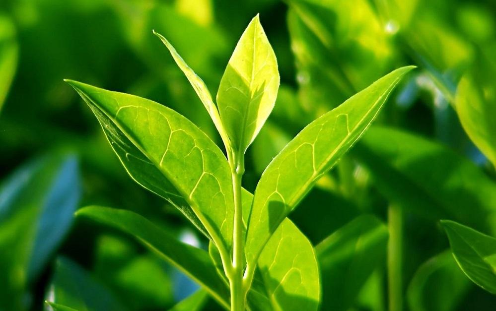 Bienfaits de l'huile essentielle de théier sur la santé