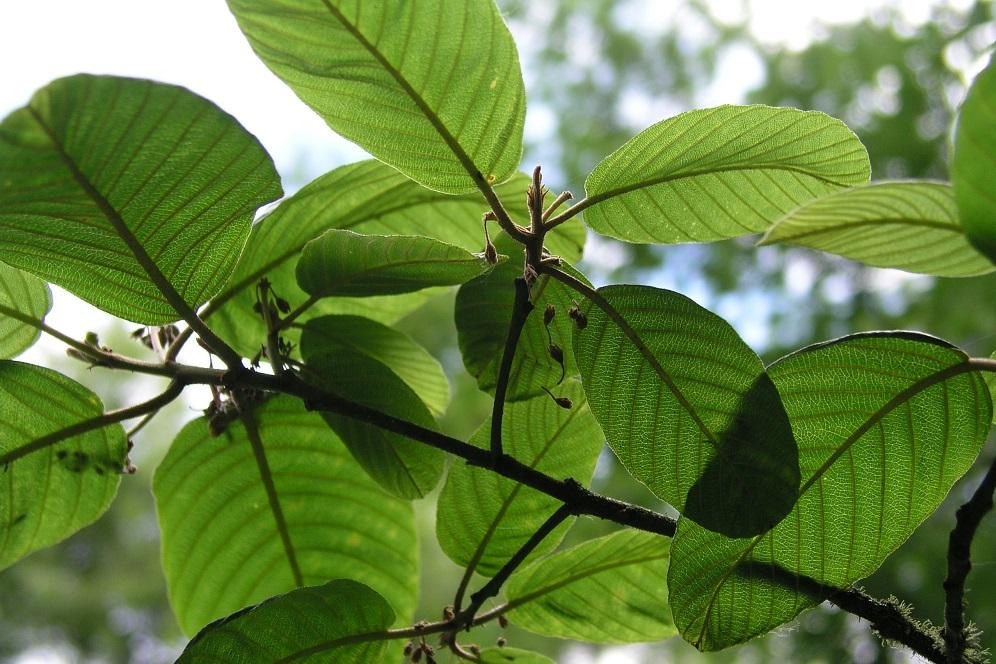 Les bienfaits du cascara sagrada : pour la constipation, le foie et plus encore