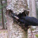 Les bienfaits du champignon Chaga : pour le système immunitaire, le diabète et plus encore