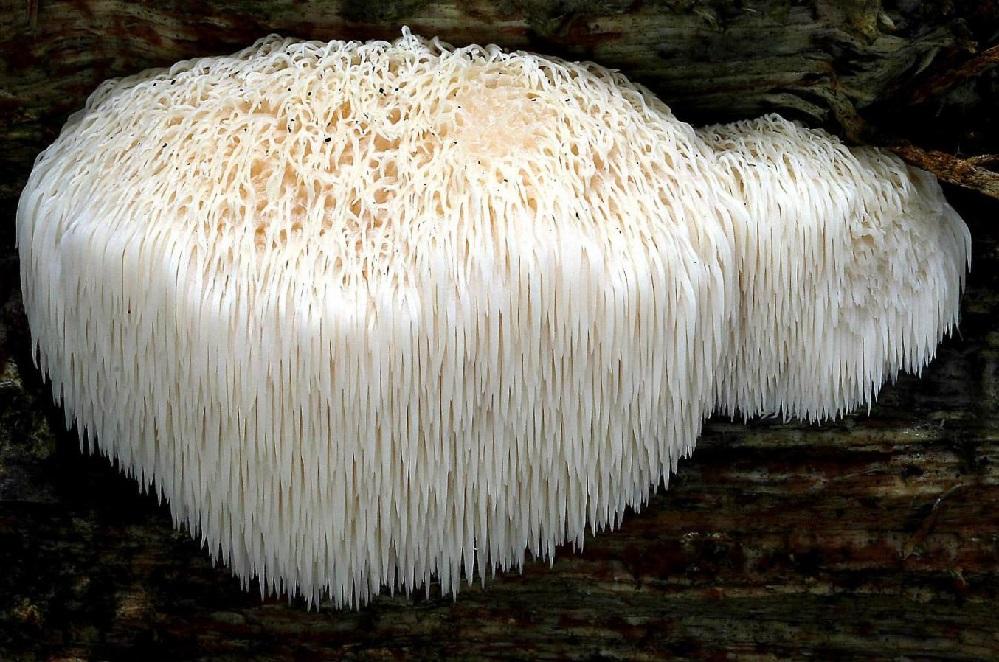 Les bienfaits du champignon Crinière de Lion : pour la fonction cérébrale, la lutte contre le cancer et plus encore