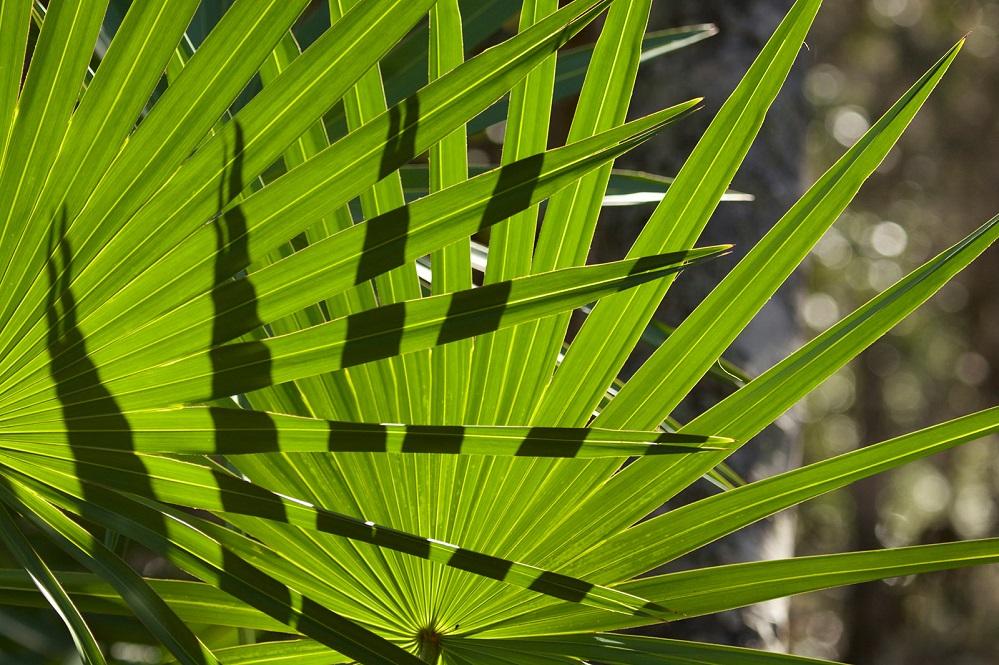 Les bienfaits du palmier nain : pour la prostate, la perte de cheveux et plus encore
