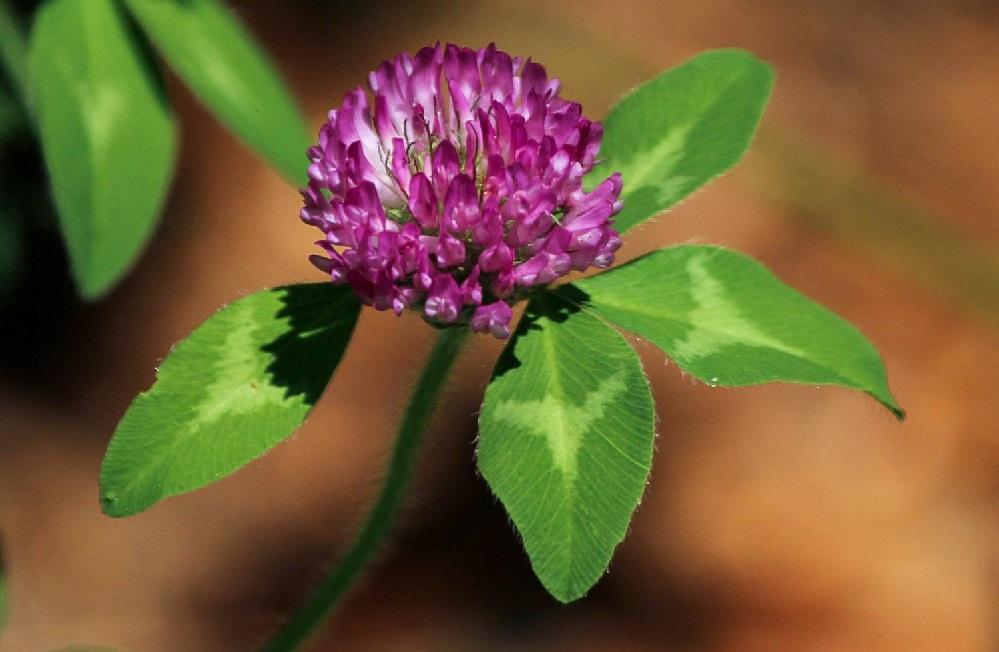 Les bienfaits du trèfle rouge : pour la ménopause, le cœur et des os solides