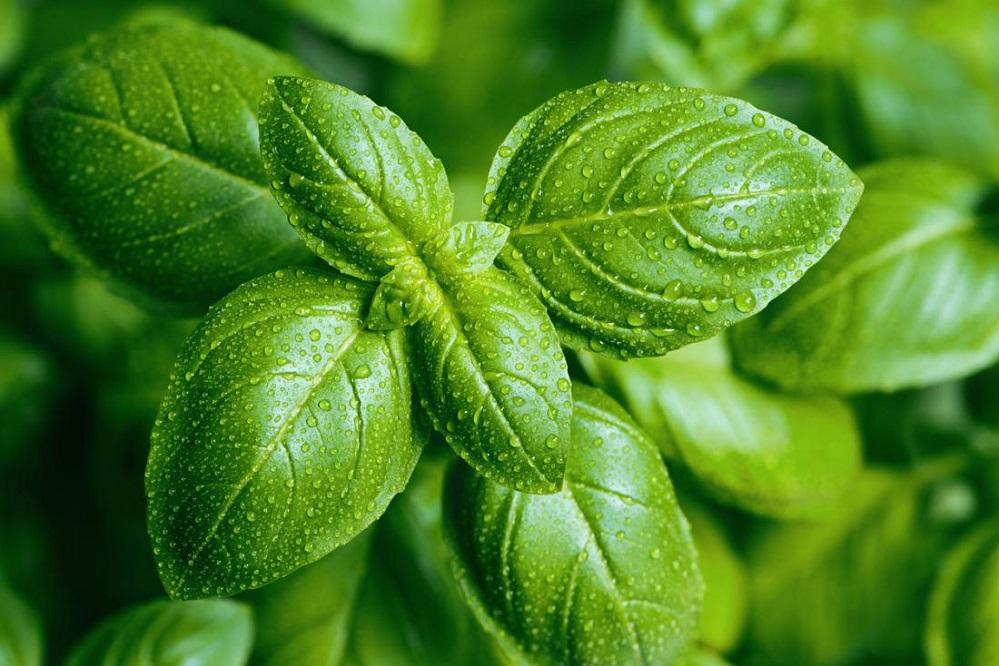 Bienfaits de l'huile essentielle de basilic sur la santé