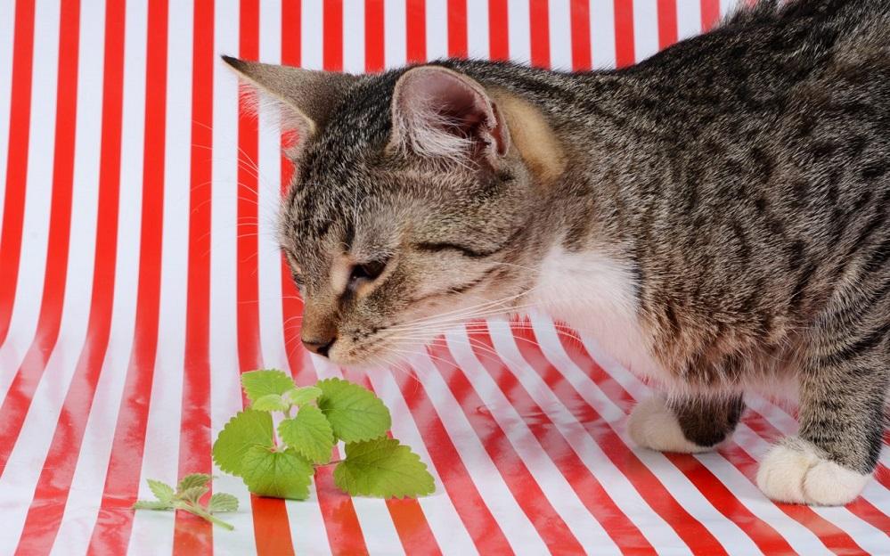 Pourquoi votre chat raffole de l'herbe à chat + bienfaits pour l'homme