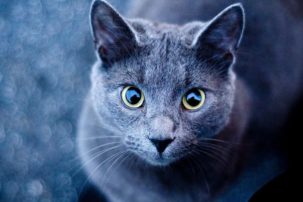 Quel régime alimentaire pour traiter l'arthrite chez les chats ?
