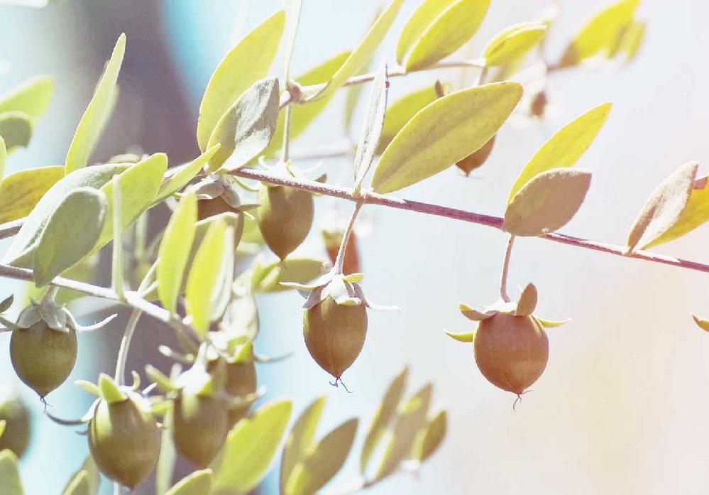 Bienfaits de l'huile de jojoba sur la santé