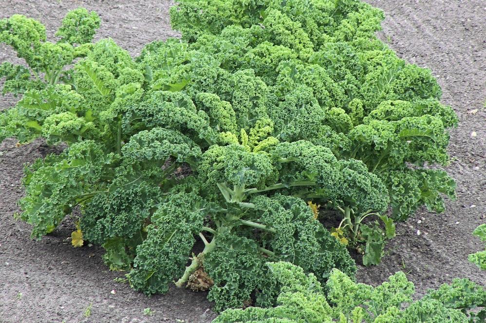Bienfaits de l'huile de graines de brocoli sur la santé
