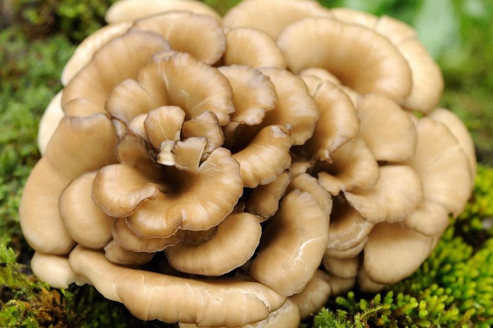 Bienfaits du champignon maitake sur la santé