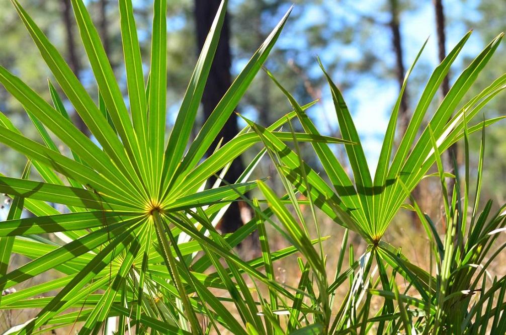 Bienfaits du palmier nain contre la perte de cheveux