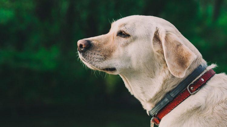 4 plantes pour traiter les lipomes chez les chiens