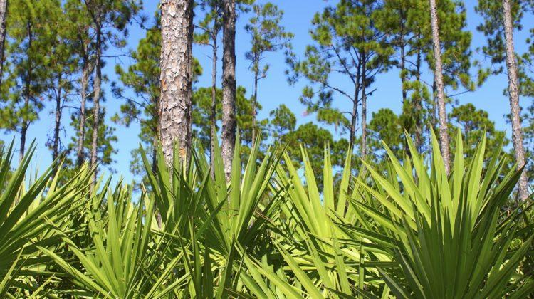 5 avantages prometteurs du palmier nain