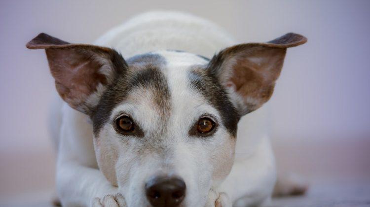 6 remèdes naturels pour l'arthrite chez le chien