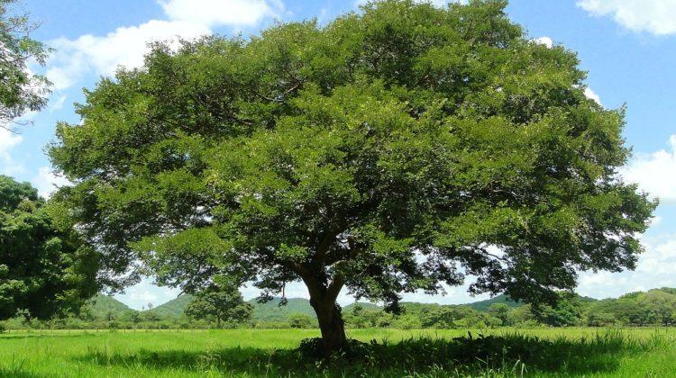 Bienfaits de l'huile essentielle de copaïba sur la santé
