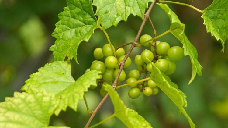 Bienfaits des raisins muscadine sur la santé