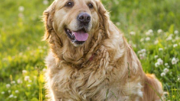 Comment utiliser l'orme rouge pour les chiens ?