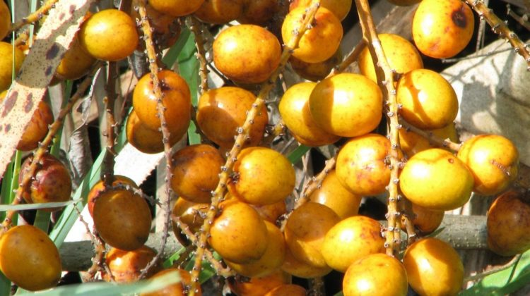 Le palmier nain affecte-t-il la testostérone ?