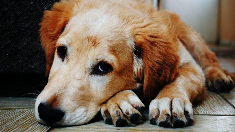 L'huile de coco est-elle bonne ou mauvaise pour les chiens ?