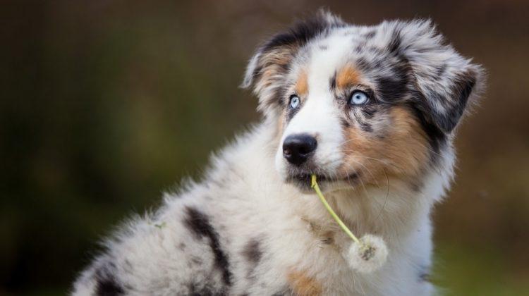 Pissenlit pour chiens : bien plus qu'une mauvaise herbe !