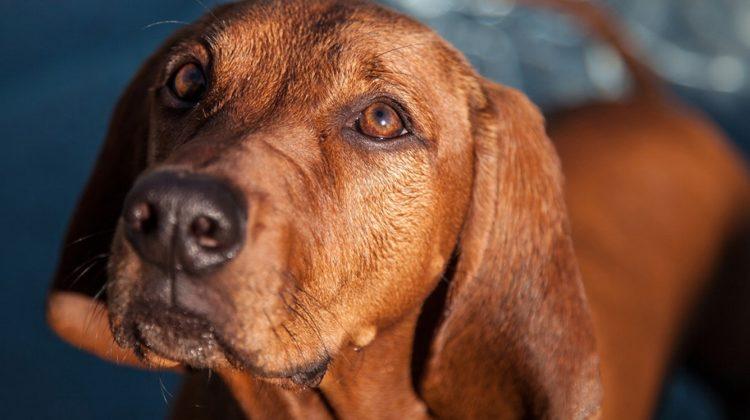 Pourquoi et comment donner du gingembre à votre chien ?