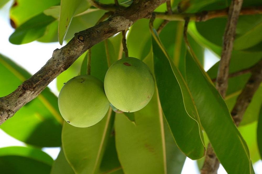 Bienfaits de l'huile de tamanu pour la peau