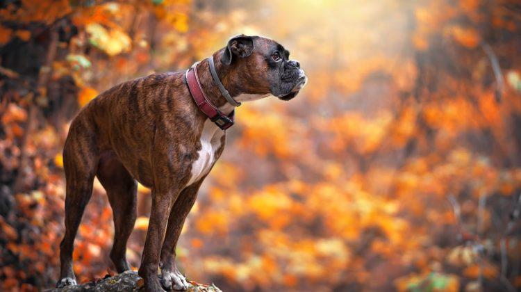Bienfaits du collagène pour les chiens