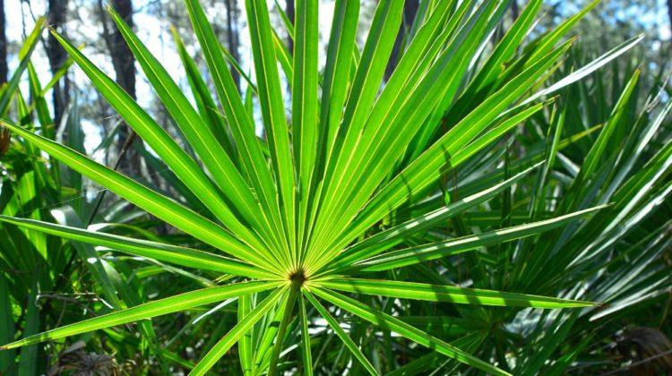 Bienfaits du saw palmetto (palmier nain) sur la santé
