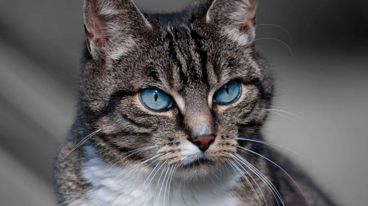 Qu'est-ce que l'ailurophobie (peur des chats) ?