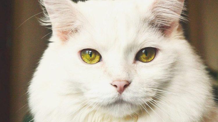 Comment traiter le rhume et la congestion de votre chat ?